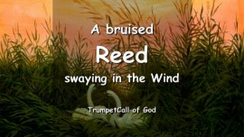 The Lord explains-A bruised Reed swaying in the Wind